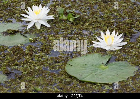 Water lilies in lake covered by Salvinia and patch of water hyacinth (Eichhornia crassipes) - Stock Photo