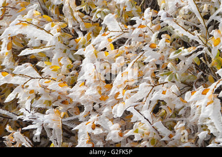 Ice Covered Colorful Autumn Leaves - Stock Photo