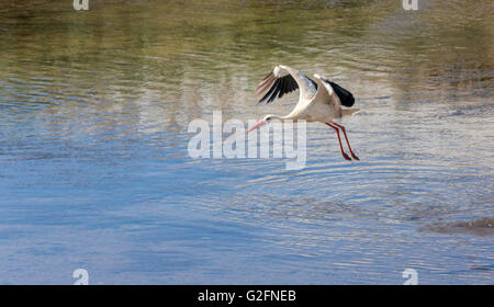 European White Stork Ciconia ciconia in flight over river, Silves, Algarve, Portugal - Stock Photo