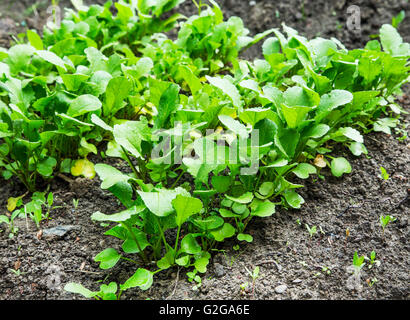 Organic radish seedling growing in the garden - Stock Photo