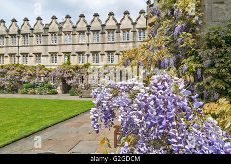 WISTERIA FLOWERS GROWING OVER A DOORWAY OF JESUS COLLEGE OXFORD - Stock Photo