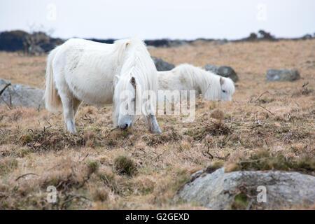 A Dartmoor pony grazing on moorland Dartmoor National Park Devon Uk - Stock Photo