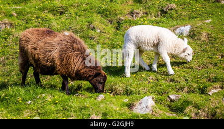 Jacob sheep ewe with white faced sheep lamb on a hillside in Wales UK - Stock Photo