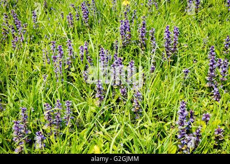 Bugle Ajuga reptans colony growing on a grassy bank near Lyme Regis Dorset  UK - Stock Photo