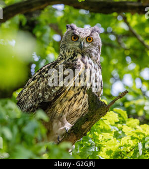 Eagle Owl Bubo bubo staring down from its perch in an oak tree - Stock Photo