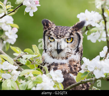 Long eared owl Asio otus posed amongst apple blossom in a Gloucestershire orchard - captive bird - UK Stock Photo