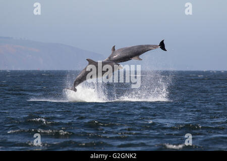 Bottlenose dolphins (Tursiops truncatus) breaching, jumping, leaping, Chanonry Point, Moray Firth, Scotland, UK - Stock Photo
