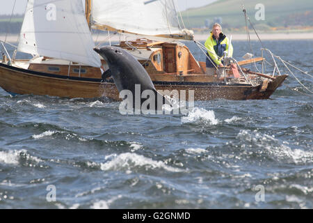 Bottlenose Dolphins (Tursiops truncatus) leaping/breaching beside a boat in the Moray Firth, Scotland, UK - Stock Photo