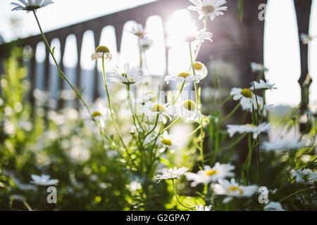 White daisy flowers in the garden - Stock Photo