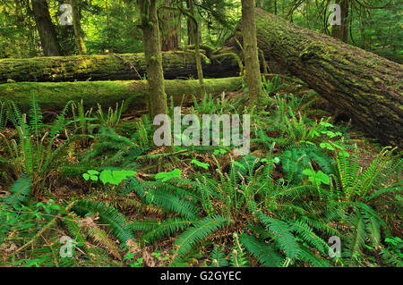 Old growth in Temperate rain forest  Cathedral Grove (McMillan Provincial Park) British Columbia Canada - Stock Photo