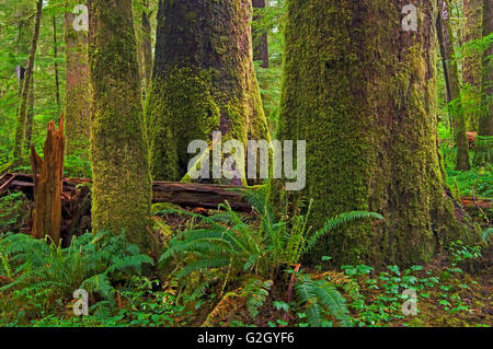 Old growth temperate rain forest Carmanah-Walbran Provincial Park British Columbia Canada - Stock Photo
