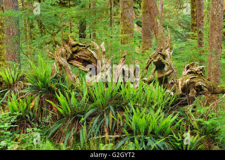 Ferns and old tree in Old growth temperate rain forest Carmanah-Walbran Provincial Park British Columbia Canada - Stock Photo