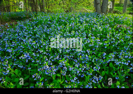 Carpet of Virginia bluebells Mertensia virginica Selkirk Ontario Canada - Stock Photo
