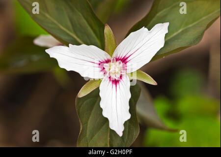 Painted Trillium or Painted Wake-robin (Trillium undulatum) Dorset Ontario Canada - Stock Photo