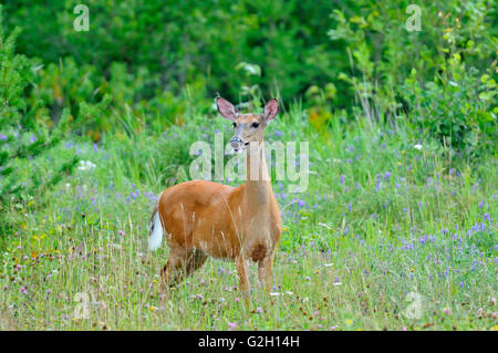 Whitetail deer (Odocoileus virginianus) at edge of forest Ear Falls Ontario Canada - Stock Photo