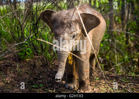 Baby sumatran elephant in the bushes. Way Kambas National Park, Sumatra, Indonesia. - Stock Photo