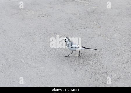 Beautiful black and white bird, Male of White Wagtail, Motacilla alba, walking on ashalt - Stock Photo