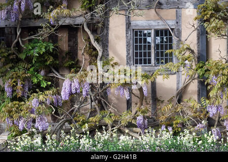 Wisteria on the front of Hall's Croft, Old Town, Stratford-upon-Avon, Warwickshire, England, UK. - Stock Photo