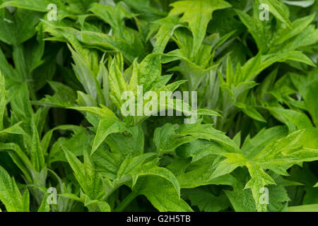 pointed branching pattern of globe thistle Echinops leaves an allergy as fine hairs may cause rash on skin - Stock Photo