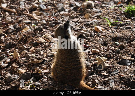 Meerkat in the sun. - Stock Photo
