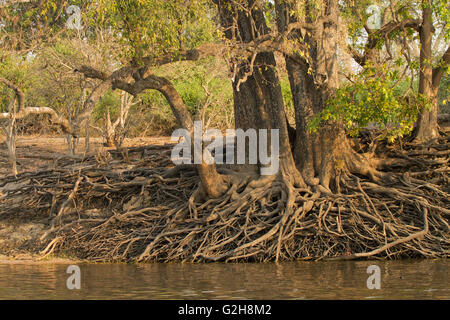 Common Wild Fig tree with aerial root structure along the Chobe River in Chobe National Park, Botswana, Africa - Stock Photo