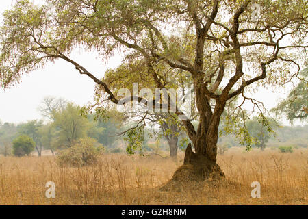 Acacia tree growing in a termite mound in Lower Zambezi National Park, Zambia, Africa - Stock Photo