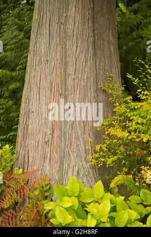 Western Red Cedar tree in Squak Mountain State Park near Issaquah, Washington, USA. - Stock Photo