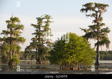 Stand of young Bald Cypress trees (Taxodium distichum) and mature trees, Cypress Island Preserve, Lake Martin - Stock Photo