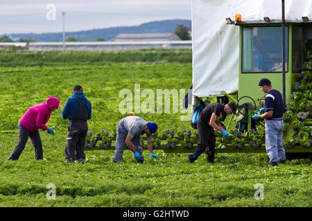 Tarleton, Lancashire, UK. 1st June, 2016. Migrant farm workers travel to Tarleton each year to help with the cultivation - Stock Photo