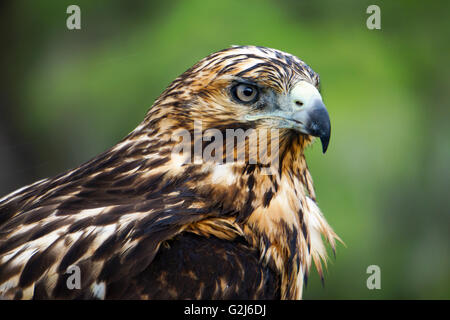 Galapagos hawk (Buteo galapagoensis) on a rock. This bird of prey is native to the Galapagos Islands, where it feeds - Stock Photo