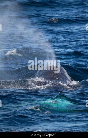 Bowhead whale, Balaena mysticetus, Svalbard, Norway - Stock Photo