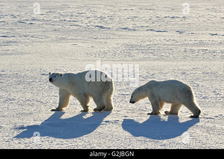 Polar bears Ursus maritimus on frozen tundra, Churchill, Manitoba, Canada - Stock Photo