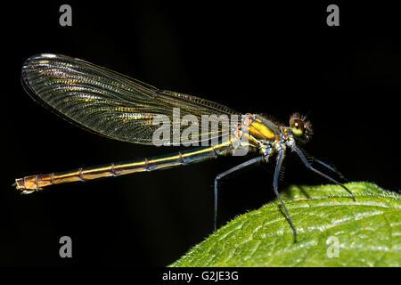 Banded demoiselle (Calopteryx splendens) female. Damselfly with metallic blue-green body, family Calopterygidae - Stock Photo