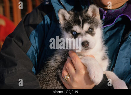 Cute Siberian Husky (Canis lupus familiaris) puppy looking at the camera Central Ontario, Canada. - Stock Photo