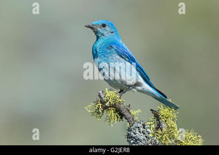 Male mountain bluebird (Sialia currucoides) delivering food its nestlings in a tree cavity nest southern Okanagan - Stock Photo