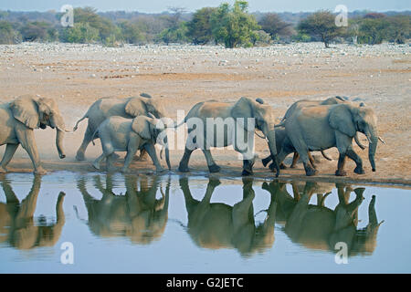 African elephant (Loxodonta africana) family coming to a waterhole to drink, Etosha National Park, Namibia, southern - Stock Photo
