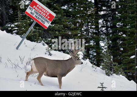A mature mule deer buck Odocoileus hemionus, walking under a no hunting sign through the fresh snow in rural Alberta - Stock Photo