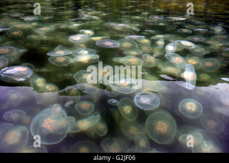 Moon Jellyfish in Sechelt Inlet. Gibsons, Sunshine Coast, British Columbia, Canada - Stock Photo