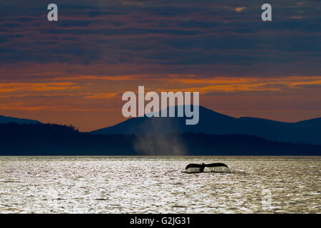 Humpback Whale (Megaptera novaeangliae) shows its fluke during sunset in front Vancouver Island Mountains British - Stock Photo