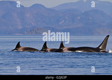 Transient killer whales (orca Orcinus orca T30's & T137's) after killing a sea lion off Malcolm Island near Donegal Head Stock Photo