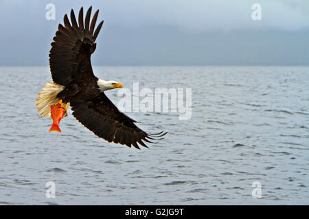 Bald eagle in flight with a fresh caught red snapper in its powerful talons Pacific Ocean off the British Columbia - Stock Photo