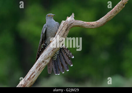 Male Cuckoo-Cuculus canorus perched on branch. Spring. Uk - Stock Photo