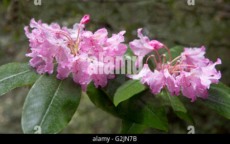 Close-up of Rhododendron flowering in Redwood forest, water droplets from rain, filtered light, early morning. - Stock Photo