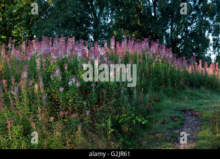 Wildflowers of Chamerion Angustifolium Rosebay Willowherb flowers going to seed in late summer early autumn Cannock - Stock Photo