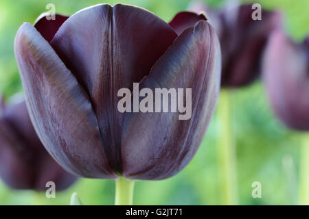 Tulipa  'Queen of Night'  Tulip  Single Late Group  April - Stock Photo