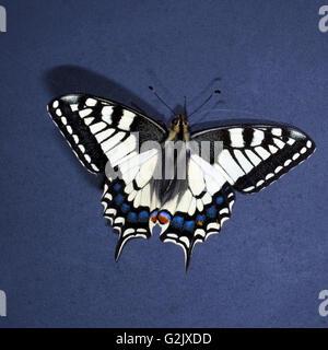 Schwalbenschwanz; Papilio; machaon; Schmetterling; Tagfalter - Stock Photo