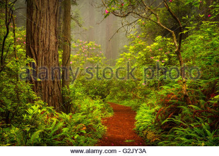 Redwoods and rhododendrons along the Damnation Creek Trail in Del Norte Coast Redwoods State Park California USA - Stock Photo