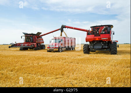two combine harvesters empty oats into a farm truck during the oat harvest, near Dugald, Manitoba, Canada - Stock Photo