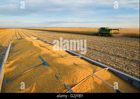 harvested feed/grain corn in the back of a grain wagon and combine harvester in the background near Niverville Manitoba - Stock Photo