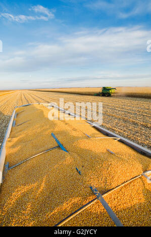 harvested feed/grain corn in the back of a farm truck and combine harvester in the background, near Niverville, - Stock Photo